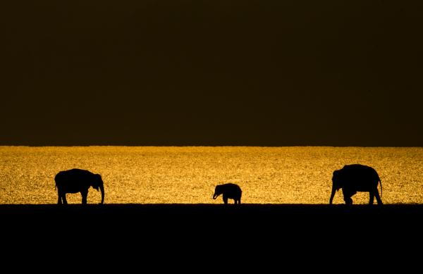 Elephant in golden light